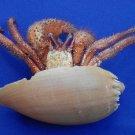 B798-37180 Hermit crab - Dardanus megistos Crustacea (not a live animal)