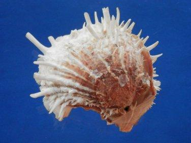B802-38375 Seashell Spondylus albibarbatus 98.5 mm