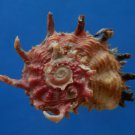 B805-41238 Seashell Angaria poppei, 44.2 mm