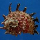 B805-41243 Seashell Angaria poppei, 52 mm