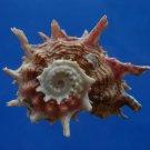 B807-41261 Seashell Angaria poppei, 34.8 mm