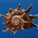 B807-41288 Seashell Angaria poppei, 38.7 mm