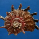 B807-41291 Seashell Angaria poppei, 44.6 mm