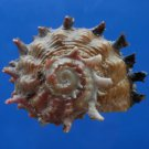B807-41292 Seashell Angaria poppei, 34.4 mm