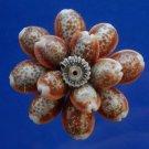 B553 Craft shells Sailors Valentine - Cypraea helvola, 12 pcs,