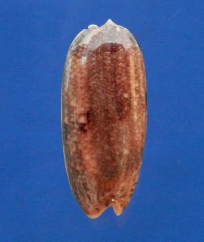 B769-39174Seashell Oliva sericea, 66 mm,