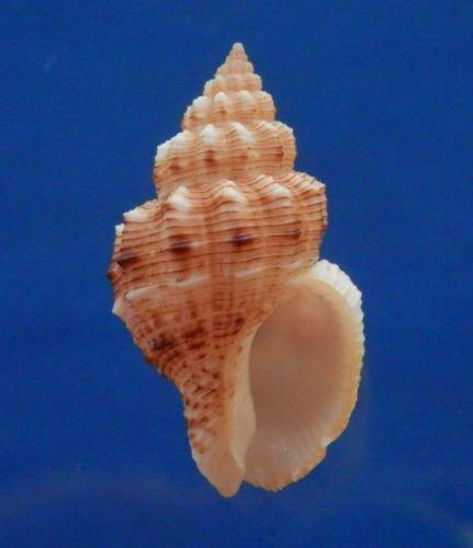 B769-38917 Seashell Cantharus leucotaeniatus, 34.4 mm
