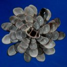 B566-Sailors Valentine Cut shells - Faunus ater-03, 1 oz