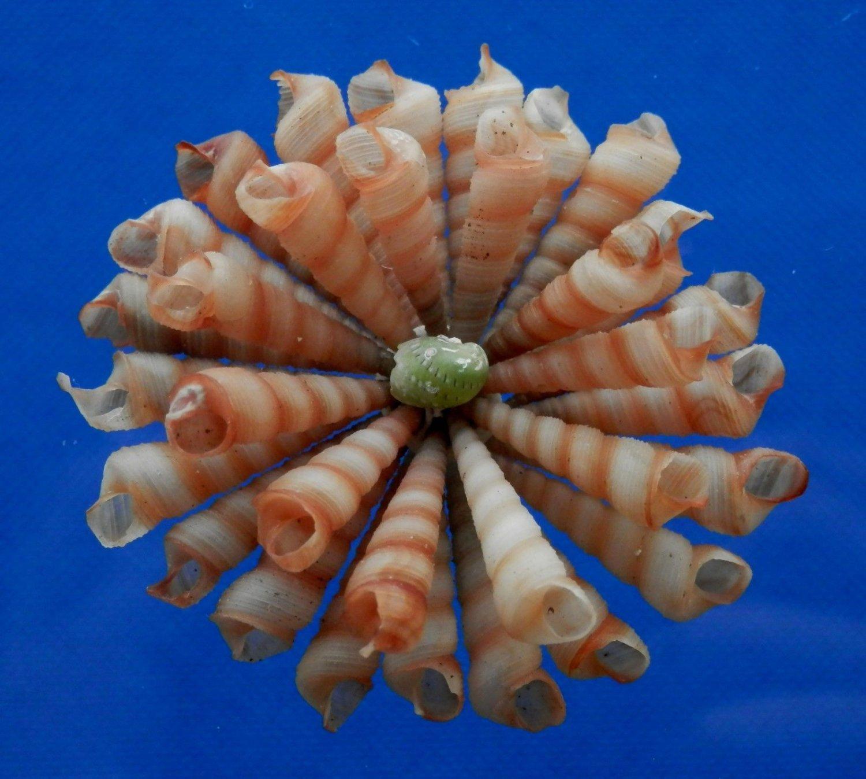 B535 Craft shells Sailors Valentine - Small Turritella terebra, 1/2 oz,