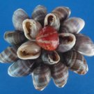 B522 Craft shells - Cassidula crassiuscula, 1 lb. FREE SHIPPING