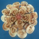B528 Sailors Valentine Craft Cut shells - Vexillum plicarium-05, 1 oz