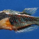 B393-64624 Blueside wrasse- Cirrhilabrus cyanopleura, 120 mm FREEZE DRIED