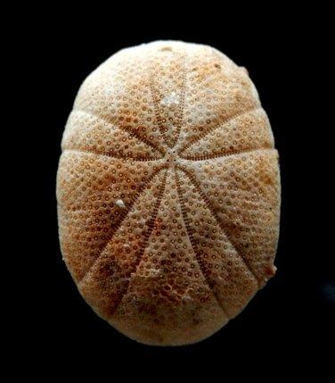 B266-57746 Echinoid Sea urchin - Echinoneus cyclostomus 19 mm