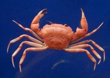 B393-64639 Crab taxidermy - Carcinoplax crosnieri c.f. , 25 mm