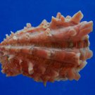 B46-43557 Seashell Cardita crassicosta, 50.7 mm