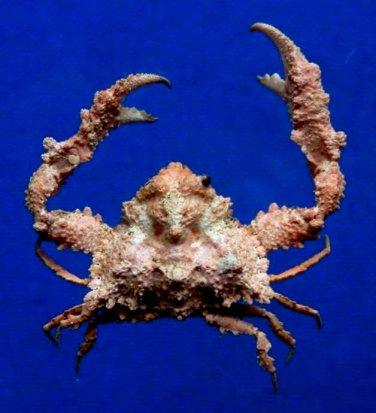 B396-64451 Crab Taxidermy Elbow crab - Pseudolambrus beaumonti, 23 mm