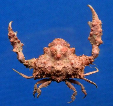 B396-64452 Crab Taxidermy Elbow crab - Pseudolambrus beaumonti, 22 mm