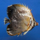 B396--64473 Eastern triangular butterflyfish Chaetodon baronessa, 85 mm Freeze Dried