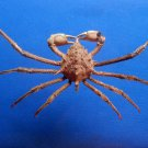 B400-64570 Spider crab - Doclea armata, 33 mm
