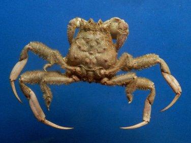 B400-64573 Porter crab- Dorippe quadridens, 37 mm