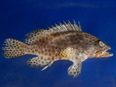 74742 Honeycomb grouper - Epinephelus merra, 120 mm Freeze Dried Taxidermy
