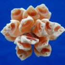 B559 Sailors Valentine Cut shells - Drupa grossularia-04, 1 oz