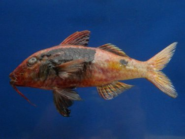 74797 Bicolor goatfish Parupeneus barberinoides, 150 mm Freeze Dried Taxidermy