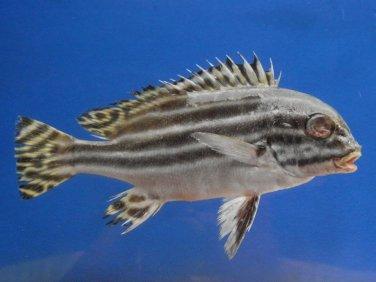 74798  Sweetlips fish - Plectorhinchus diagrammus, 165 mm, Freeze Dried Taxidermy