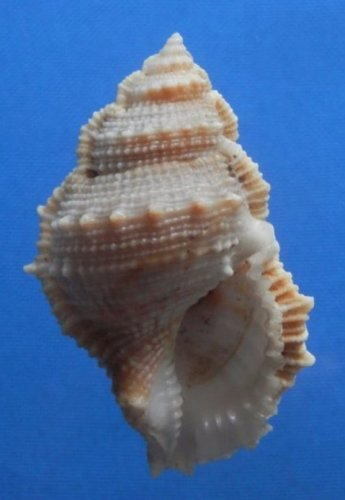 74804 Seashell -Bursa cristinae, 66 mm