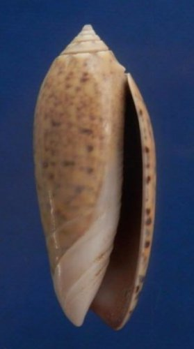 74866 Seashell Oliva oliva f. samarensis, 34 mm