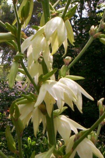 Yucca filamentosa - Hardy Yucca seeds 15+ seeds