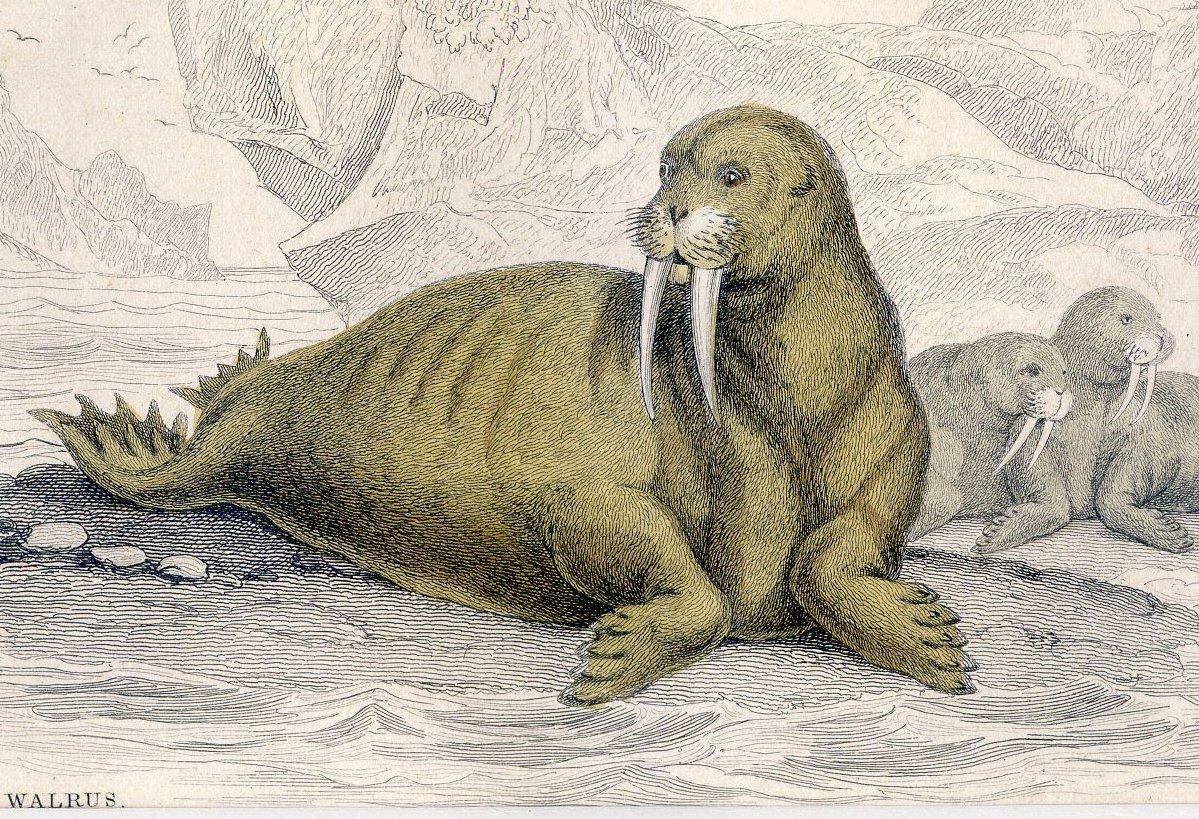 Antique Nature Engraving Ca.1838 Wm Jardine - Walrus