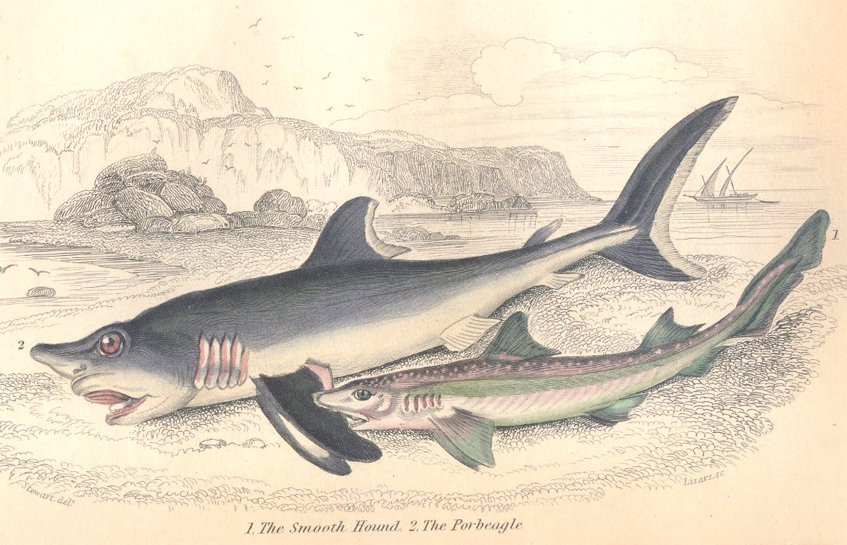 Antique Nature Engraving Ca.1838 Wm Jardine - Sharks