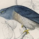 Antique Nature Engraving Ca. 1838 Wm. Jardine - Lineated Cuckoo
