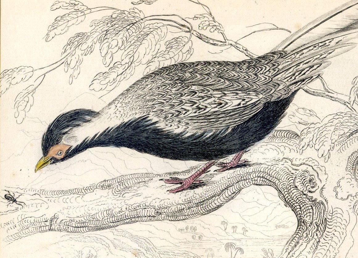 Antique Nature Engraving Ca.1838 Wm Jardine - Silver Pheasant
