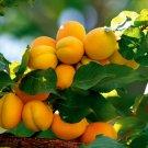 RARE ANATOLIAN MALATYA APRICOT TREE 10 FRESH SEED