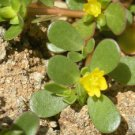 PURSLANE 1000 +++ FRESH SEEDS (Portulaca oleracea)