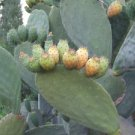 FICUS INDICA -OPUNTIA- YELLOW FRUIT 30 FRESH SEEDS