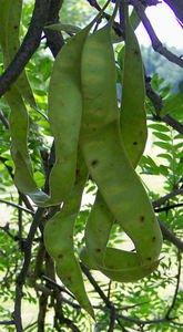 HONEY LOCUST (Gleditsia triacanthos) 50 FRESH SEEDS