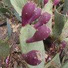 OPUNTIA (Ficus indica) PURPLE FRUIT 50 FRESH SEEDS