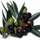 OLIVE TREE (Olea europaea) 20 FRESH SEEDS