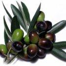 OLIVE TREE (Olea europaea) 20 FRESH SEEDS