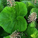 COMMON BUTTERBUR 50 FRESH SEEDS