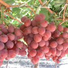 RED GLOBE GRAPES 25 FRESH SEEDS