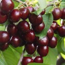 ANATOLIAN ANTIC NICAIA CHERRY TREE 20 FRESH SEEDS