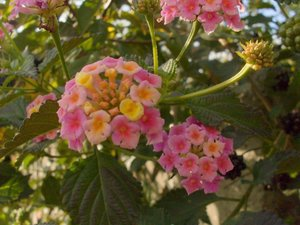 LANTANA CAMARA (Pink-Yellow) 30 FRESH SEEDS