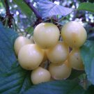 WHITE CHERRY TREE 20 FRESH SEEDS