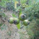 ANATOLIAN WILD PEAR (pyrus elaeagnifolia) 10 FRESH SEED