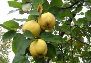 QUINCE TREE 30 FRESH SEEDS (Cydonia oblonga)
