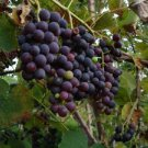 CAUCASIAN GRAPES VINE 25 FRESH SEEDS